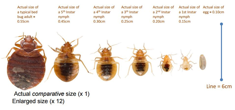 Bedbug_Size