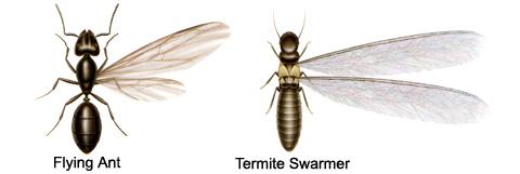 Ants Vs Termites Proactive Pest Control