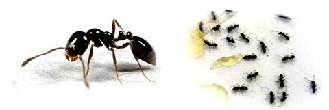little black ants proactive pest control
